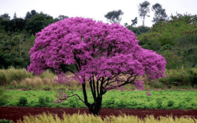 Uzdrawiający ekstrakt z kory drzewa Lapacho